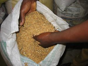 Le riz avant décorticage