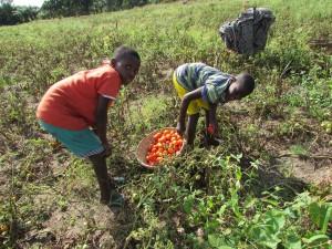 Toutes les familles du groupement participent aux récoltes et en profitent