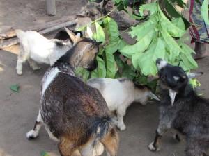 les chèvres de M'AKAKO et I.D.E.E.S.